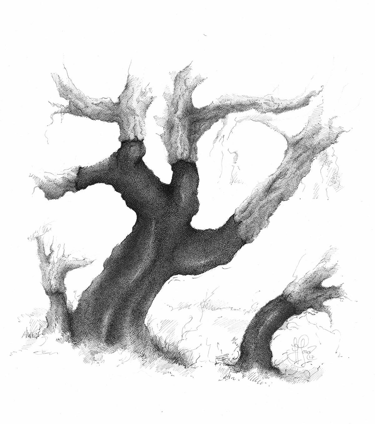 QUERCUS SUBER - Cork oak - Pen & Ink.