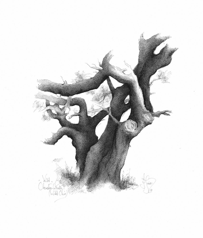 Wild Olive - Olea oleaster. Pen & Ink drawing