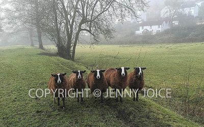 Balwen Welsh Mountain Sheep